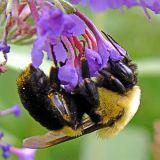 BUMBLE BEE 1983 .jpg