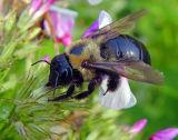 BUMBLE BEE 2206 .jpg