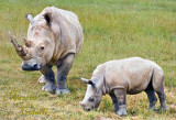 RHINOCEROS AND BABY--6178.jpg