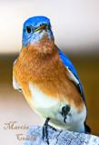 EASTERN BLUEBIRD-6460.jpg