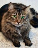 MAX, MAINE COON CAT 0052.jpg