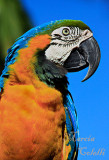 BLUE AND GOLD MACAW-0608.jpg