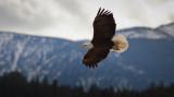 Bald Eagle Fly-By (Canada1_041813_253-1.jpg)