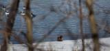 Ice Otter  (Canada1_042013_852-1.jpg)