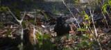 Foraging Crow (Canada3_042213-77-1.jpg)