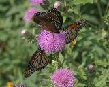 Mt. Magazine Butterflies