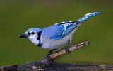 Blue Jay with Sunflower Seed