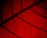 Christmas Poinsettia Leaf Detail