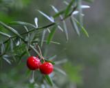 Fern Berries (indoor plant)