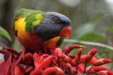 Lorikeet, Coffs Harbour NSW IMG_4922.JPG