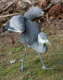 African Grey Crowned crane IMG_1714.jpg