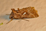 Common-Looper-Moth---0107.jpg