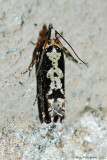 Filigreed Chimoptesis Moth (Chimoptesis Pennsylvaniana---Mar-12---0016.jpg
