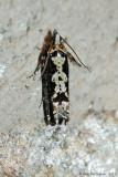 Filigreed Chimoptesis Moth (Chimoptesis Pennsylvaniana---Mar-12---0017.jpg