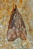 Green Cloverworm Moth---Mar-23---0029.jpg