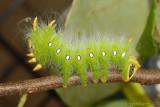 Imperial-Moth-Caterpillar-(Eacles-imperialis)---0021.jpg