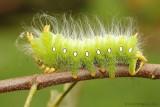 Imperial-Moth-Caterpillar-(Eacles-imperialis)---0028.jpg