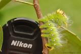 Imperial-Moth-Caterpillar-(Eacles-imperialis)---0039.jpg