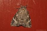 Locust-Underwing-(Euparthenos-nubilis)---0005.jpg