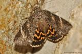 Locust-Underwing-(Euparthenos-nubilis)---0010.jpg