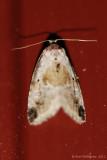 Black-dotted Maliattha (Malittha synochitis)-0017.jpg
