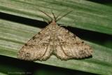 Canadian Melanolophia (Melanolophia canadaria)-0128.jpg