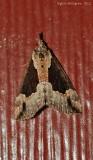 Baltimore-Snout-(Hypena-baltimoralis)---0056.jpg