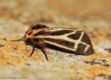 Tiger Moth sp.