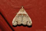 Ambiguous-Moth-(Lascoria-ambigualis)---0011.jpg