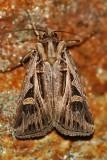 Dingy-Cutworm-(Feltia-jaculifera)---0153.jpg