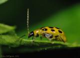 Spotted Cucumber Beetle-0442.jpg