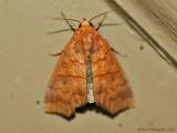 Hibiscus Leaf Caterpillar Moth--0034.jpg