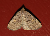 Common Idia---0398.jpg