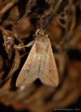 Armyworm Moth --0410.jpg
