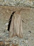Leucania sp--0076.jpg