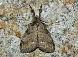 White-marked-Tussock-Moth-(Orgyia-leucostigma)---23-Oct-2012---0075.jpg