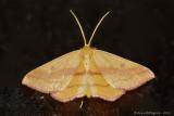 Chickweed-Geometer-(Haematopis-grataria)---12-Sept-2012---_0081.jpg