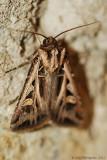 Dingy-Cutworm-(Feltia-jaculifera)---13-Sept-2012---0086.jpg