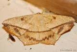 Large-Maple-Spanworm-(Prochoerodes-lineola)---12-Sept-2012---_0070.jpg