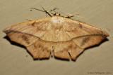 Large-Maple-Spanworm-(Prochoerodes-lineola)---12-Sept-2012---_0071.jpg