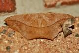 Large-Maple-Spanworm-(Prochoerodes-lineola)---13-Sept-2012---_0092.jpg