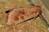 Bronzed Cutworm Moth--0121.jpg