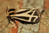 Tiger-Moth-(Apentesis-sp.)---12-Sept-2012---_0072.jpg