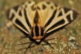 Tiger-Moth-(Apentesis-sp.)---12-Sept-2012---_0075.jpg