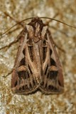 Dingy-Cutworm-(Feltia-jaculifera)---8-Sept-2012---0030.jpg