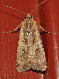 Variegated Cutworm Moth (Pearly Underwing) -0466.jpg
