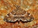 Spotted-Beet-Webworm-(Hymenia-perspectalis)-6-Sept-2012---0504.jpg