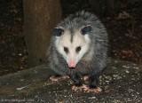 Opossum - 0088.jpg
