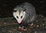 Opossum - 0089.jpg