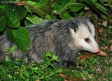 Opossum - 0092.jpg